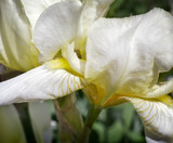 Blooming in the garden, pale yellow irises.