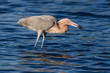 Постер, плакат: Reddish Egret Behavior at Merritt Island National Wildlife Refuge