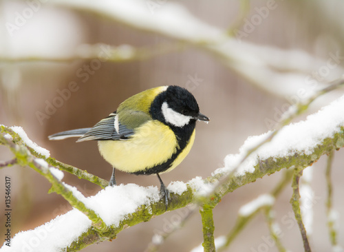 Poster Great tit bird sitting on a snow covered tree