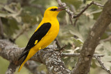 Male of Golden oriole. Oriolus oriolus
