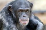 Chimpanzee - 135483533