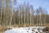 White birches in the spring park