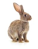 Brown bunny.