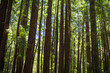 Redwood trees in a forest in the Santa Cruz mountains in California