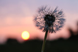 a dandelion against a sunset background
