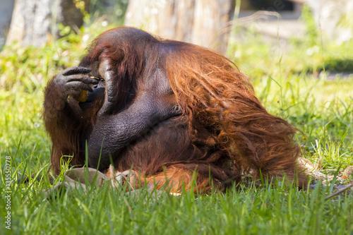 Fotobehang Leeuw Image of a big male orangutan orange monkey on the grass. Wild A