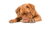 Dogue de bordeaux lying on the floor staring at the floor with paws to the front isolated on a white background