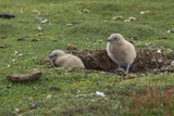 Falkland Skua chicks (Catharacta antarctica) sheltering in a scape in the ground on Bleaker Island in the Falkland Islands.