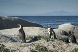 familia de pinguins