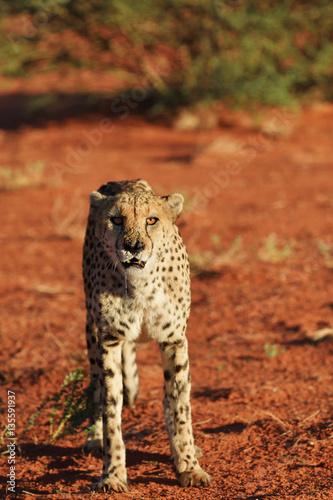 Fotobehang Overige Africa. Namibia. Cheetah