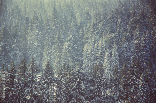 coniferous trees, thickets of green forest - 135615934