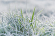 Frozen morning grass.  Close-up of grass with mornig back sunny lit.