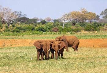 African elephants. Tsavo East, Kenya.
