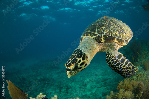 Poster Hawksbill sea turtle in the Florida Keys