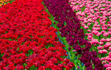 Flower field of colourful tulips in spring. Beautiful tulips. Colorful tulips in the Keukenhof garden, Netherlands. Fresh blooming tulips in the spring garden. Tulip Flower Field.