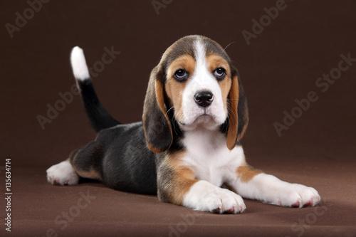 Poster Cute little beagle puppy