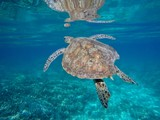 turtle_new_caledonia