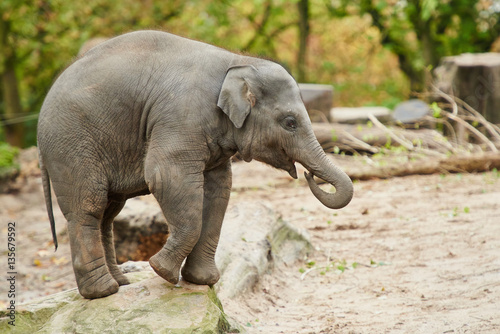 Young asian elephant Poster