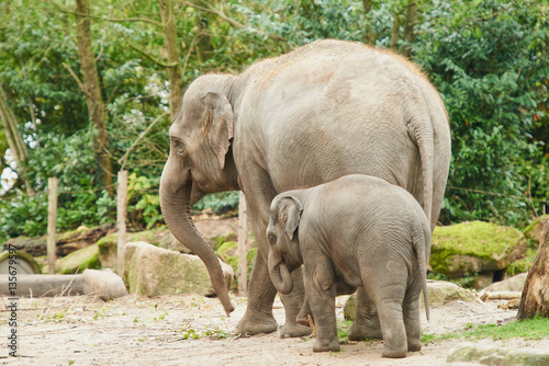 Poster Young asian elephant.