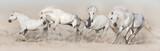 Stado koni białych biegnie w pustynnym kurzu. Jasna panorama dla sieci