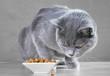 British Blue cat eats cat food