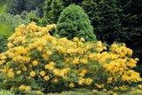 Rhododendron bush yellow