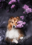 Cute little Sheltie dog with a bouquet of flowers - 135716145