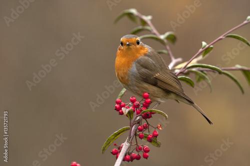 Poster European robin. Erithacus rubecula
