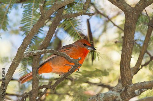 Poster El pájaro rojo está entre ramas y muy atento.