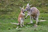 kangourou roux jeune et adulte