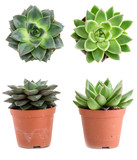 Fototapety Set of pot plant Echeveria different types isolated on a white b