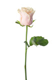 Pale light pink rose isolated on white background. - 135737173