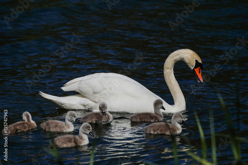 Fotobehang Zwaan Swan Family with Baby Ducklings