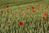 Mohnblumen in Weizenfeld