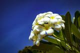 white frangipani and blue sky