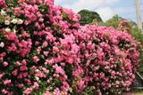 ピンクのバラの壁(山形県)
