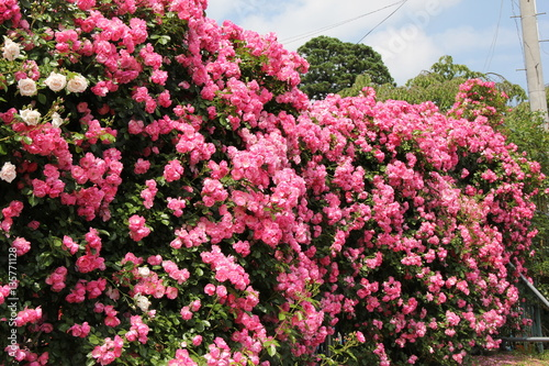 Fotobehang Candy roze ピンクのバラの壁(山形県)