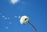 dandelion overblown with seed flying away under blue sky