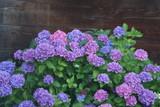Hortensien blühen vor dunklem Holz