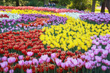 Spring field of bright tulips. The exhibition of tulips. Tulips
