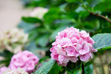 Pink sweet hydrangea flower in the garden