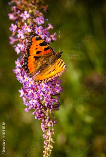 Deurstickers Vlinder Beautiful Peacock Butterfly