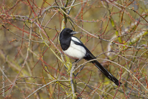 Poster quadro magpie pica pica perched in hedgerow at for Bpt thermoprogram th 24 prezzo