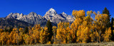 Panorama: Grand Teton with autumn golden aspens,