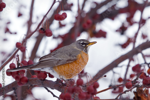 Poster a robin perched in a crab apple tree