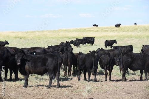 Arreos y movimientos de bovinos, argentina