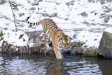 Tiger geht in Wasser