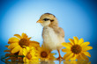 little chick with daisies