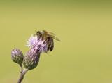 Biene auf Distel Blüte Makro