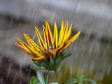Yellow and red Gazania flower with raindrops splashing from the petals